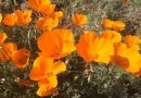 California Poppy Day